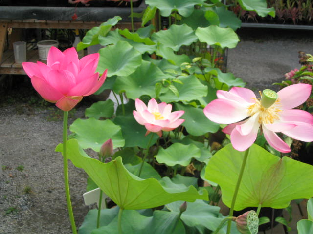 lotus plants at hawaiian botanicals, Beautiful flower